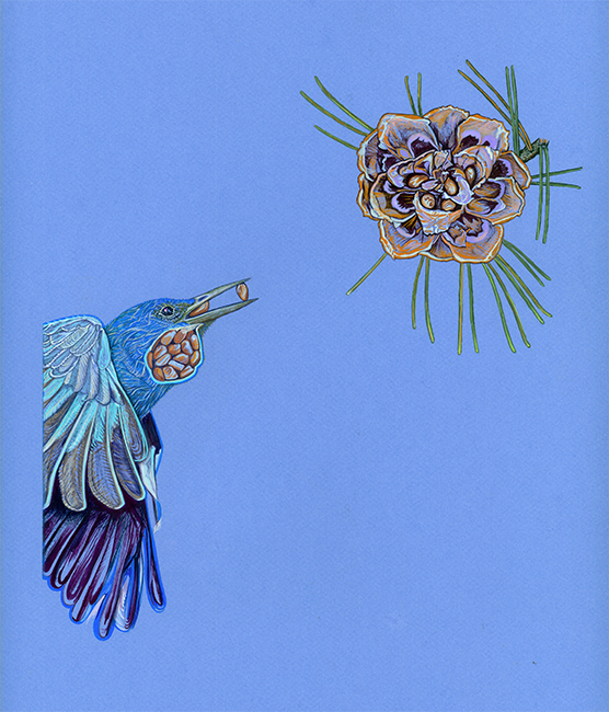 """A PIÑON JAY CAN CARRY 40-50 PINE NUTS IN ITS EXPANDABLE ESOPHAGUS, (SPECIAL VIEW), Gouache on Canson paper, 14 x 12"""", 2013"""