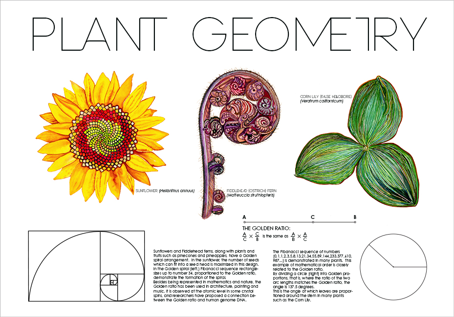 """PLANT GEOMETRY: FIBONACCI AND THE GOLDEN RATIO Pen and ink, watercolor and gouache on board, Adobe Illustrator and Photoshop CS6, 24 x 30"""", 2013"""