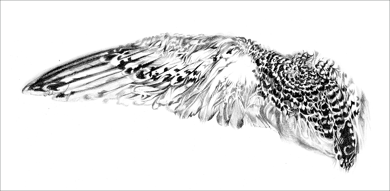 RED-BILLED TROPICBIRD WING (Phaethon aethereus)