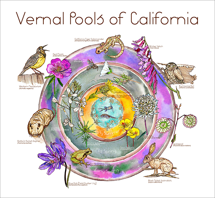 """VERNAL POOLS OF CALIFORNIA Pen and ink, watercolor and gouache on board, Adobe InDesign, 22 x 20"""", 2013"""